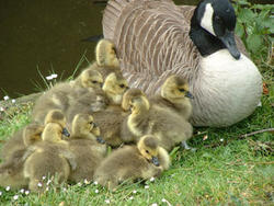 Baby geese with mother