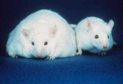 Controlling body mass Fatmouse
