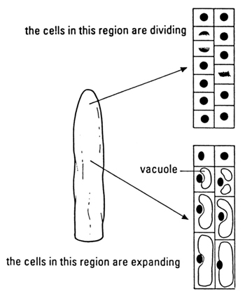Shoot tip cell division and growth diagram