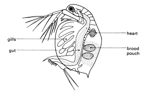 Daphnia diagram showing structure