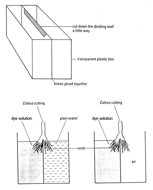 apparatus to set up plants with half their roots in dye and the other half in plain water