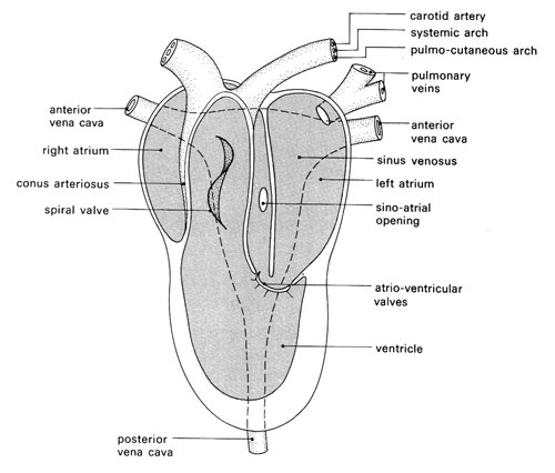 Structure of the frog's heart